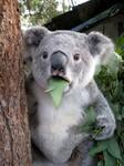 Wielkie zdziwko w tym przypadku to mało powiedziane. Zdawało by się, że Miś Koala jest z natury bardzo opanowany i niczym się już nie przejmie w życiu. Co więc mogło tak zaskoczyć tego zwierza?